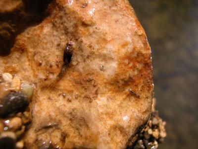 Baetidae matura