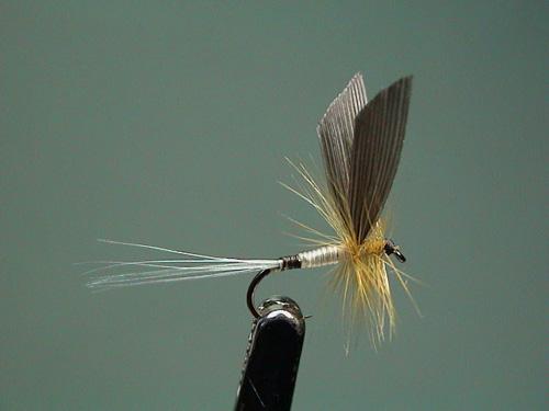 Baetis niger (subimago maschio)