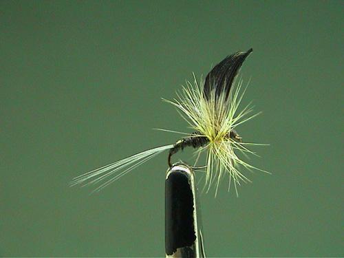Baetis pumilus (subimago femmina)