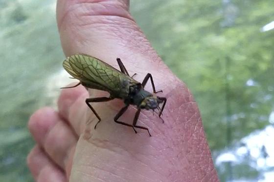 Perlidae