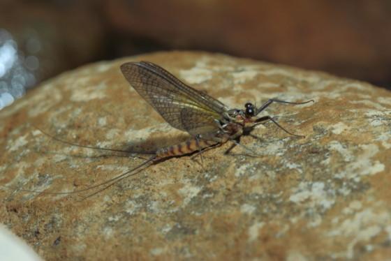 Epeorus assimilis subimago male