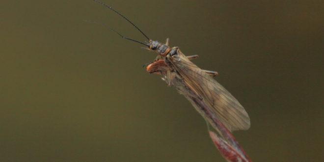 Plecottero Taeniopterygidae