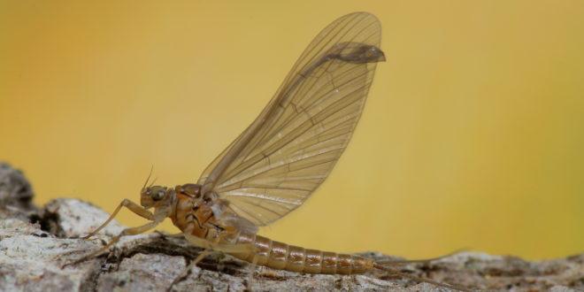 Baetis rhodani subimago female