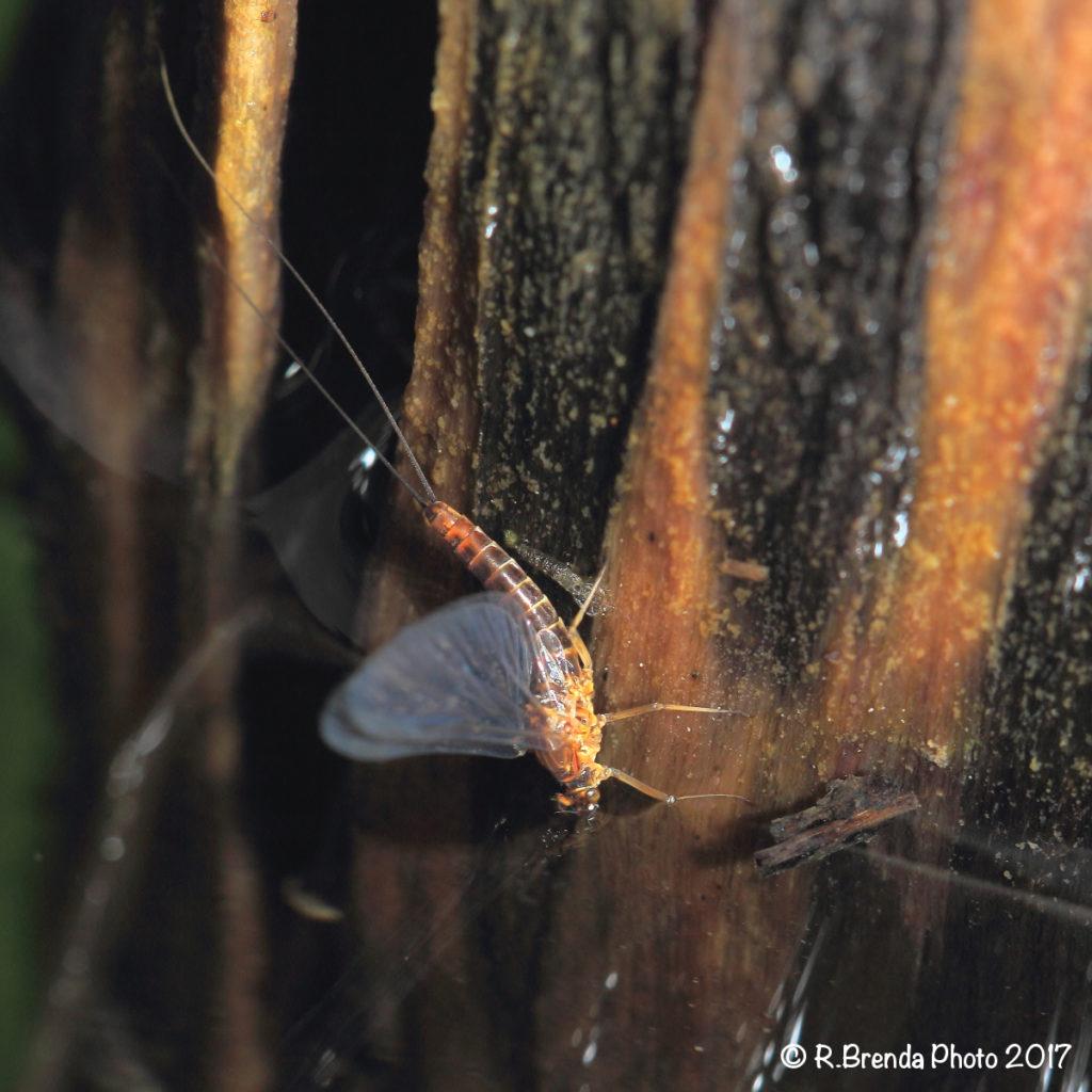 Questa femmina di Baetis rhodani allo stadio di imago si accinge a scendere sott'acqua lungo un supporto di legno.
