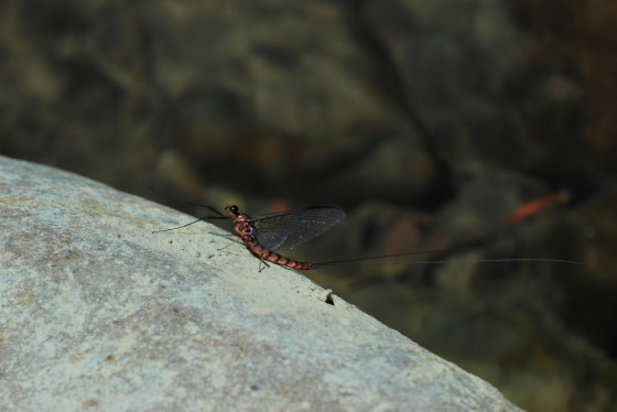 Epeorus assimilis imago male