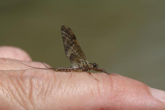 Ecdyonurus venosus subimago male