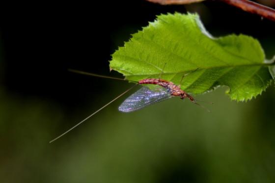 Ecdyonurus venosus imago female