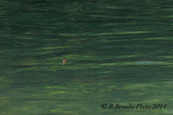 Formica alata sull'acqua