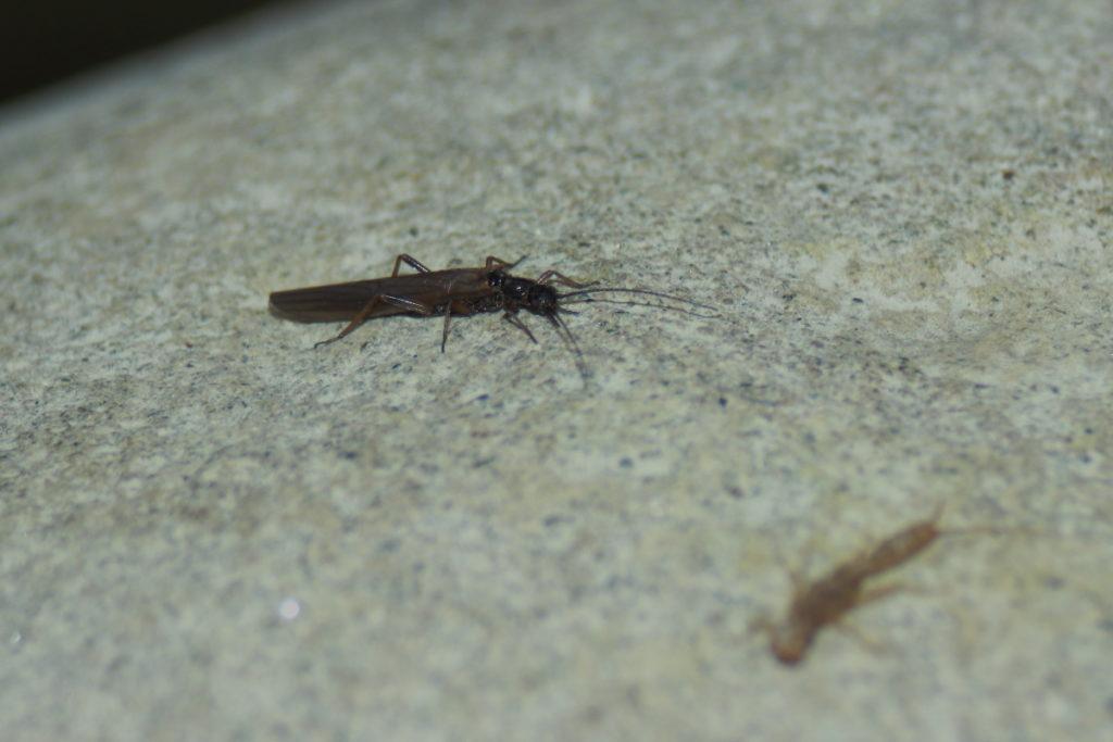 Plecottero Leuctridae